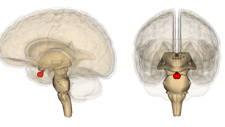 """The pituitary gland is referred to as the body's """"master ..."""
